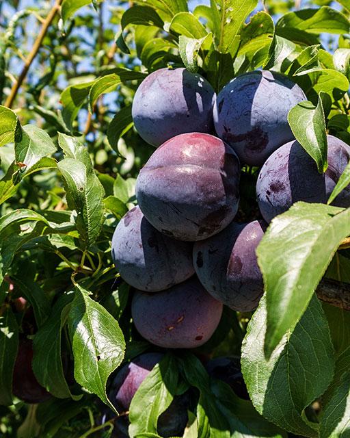big blue plums